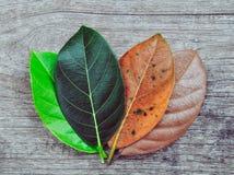 El jackfruit de la pendiente se va en diverso senescene del oto?o de las etapas en el fondo de madera foto de archivo