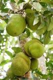 El jackfruit en árbol Fotos de archivo libres de regalías