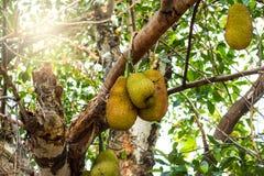 El Jackfruit en el árbol con luz del sol apreció en Asia Foto de archivo libre de regalías