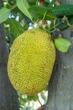 El jackfruit en naturaleza Foto de archivo libre de regalías