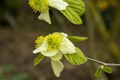 El jacquemontiana del Parrotiopsis es un arbusto no tan a menudo visto del jardín Fotografía de archivo