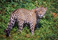 El jaguar Fotos de archivo libres de regalías