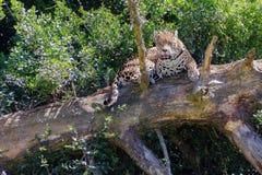 El jaguar Imagenes de archivo