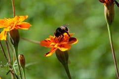 El jardín con las flores hermosas y manosea la abeja Fotografía de archivo