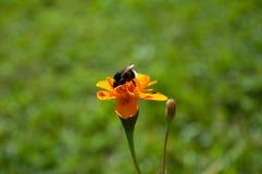 El jardín con las flores hermosas y manosea la abeja Fotos de archivo