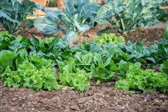 El jardín, crece las verduras, lanzamientos jovenes de la lechuga Foto de archivo