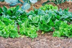 El jardín, crece las verduras, lanzamientos jovenes de la lechuga Fotos de archivo libres de regalías