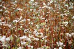 El jardín de flores de los tallarines del alforfón Plantas del alforfón con la Florida fotos de archivo libres de regalías