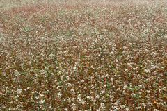 El jardín de flores de los tallarines del alforfón Plantas del alforfón con la Florida fotografía de archivo libre de regalías