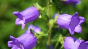 El jardín florece las flores bellBeautiful del jardín Bell púrpura, inflorescencias grandes metrajes