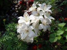 El jardín florece lirios Fotografía de archivo