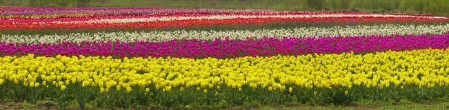 El jardín hermoso del tiempo floreciente florece tulipanes Fotos de archivo libres de regalías