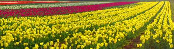 El jardín hermoso del tiempo floreciente florece tulipanes Imagen de archivo libre de regalías