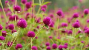 El jardín púrpura del botón del soltero almacen de metraje de vídeo
