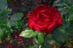 El jardín rojo subió foto de archivo