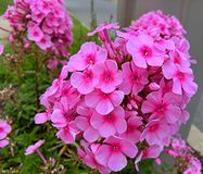 El jardín rosado florece el backround Imagen de archivo libre de regalías