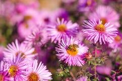 El jardín rosado hermoso florece en la luz y la abeja de la puesta del sol Imágenes de archivo libres de regalías