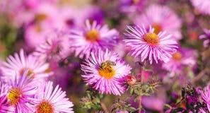 El jardín rosado hermoso florece en la luz y la abeja de la puesta del sol Fotos de archivo libres de regalías
