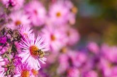 El jardín rosado hermoso florece en la luz y la abeja de la puesta del sol Imagen de archivo libre de regalías
