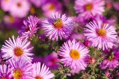 El jardín rosado hermoso florece en la luz y la abeja de la puesta del sol Foto de archivo libre de regalías