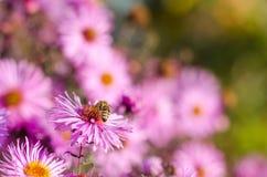 El jardín rosado hermoso florece en la luz y la abeja de la puesta del sol Foto de archivo