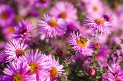 El jardín rosado hermoso florece en la luz y la abeja de la puesta del sol Fotografía de archivo libre de regalías