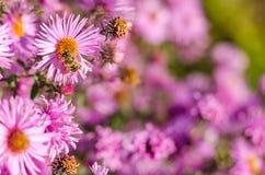 El jardín rosado hermoso florece en la luz y la abeja de la puesta del sol Imagenes de archivo