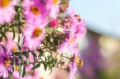 El jardín rosado hermoso florece en la luz y la abeja de la puesta del sol Fotos de archivo