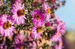 El jardín rosado hermoso florece en la luz y la abeja de la puesta del sol Fotografía de archivo