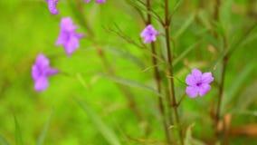 El jardín salvaje de Ruellia Tuberosa florece la cámara de la toma panorámica almacen de video