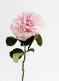 El jardín subió en un tallo verde en pequeño florero claro Fotografía de archivo libre de regalías
