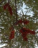 El jardín, verano, otoño, día, mañana, bayas negras, frutas, verde se va, ramifica, forra, árbol, manzanas, serbal, comida, vitam Imagen de archivo