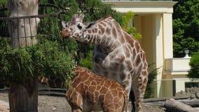 El jardín zoológico, jirafas come la hierba en parque zoológico al aire libre almacen de video