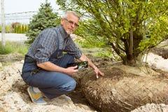 El jardinero comprueba raíces del árbol en tienda del jardín imagen de archivo libre de regalías