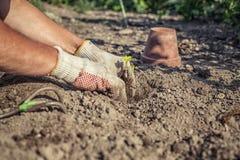 El jardinero de la afición planta el almácigo de la fresa Fotos de archivo libres de regalías