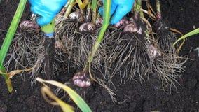 El jardinero de sexo femenino cava el ajo fresco del suelo húmedo en una cama del jardín almacen de metraje de vídeo