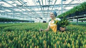 El jardinero de sexo femenino recoge los tulipanes en un invernadero, trabajador del florista almacen de metraje de vídeo