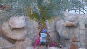 El jardinero del hombre en una palmera taja apagado ramas de la palma con un hacha metrajes