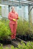 El jardinero elige los brotes del arbusto Fotografía de archivo libre de regalías