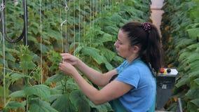 El jardinero joven implica los pepinos que se colocan en invernadero dentro almacen de video