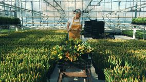 El jardinero profesional comprueba tulipanes en un invernadero mientras que empuja un carro almacen de video