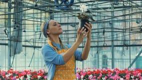 El jardinero profesional mira ciclamen florece en pote almacen de video