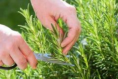 El jardinero recolecta la hierba del romero imagen de archivo libre de regalías