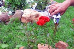 El jardinero se ocupa arbustos color de rosa en un jardín imagenes de archivo