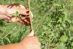 El jardinero se sostiene en las manos de un pellizco del árbol frutal fotografía de archivo