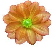 El jardín de flores anaranjado, blanco aisló el fondo con la trayectoria de recortes primer Imagenes de archivo