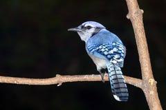 El Jay azul (cristata del Cyanocitta) Fotos de archivo libres de regalías
