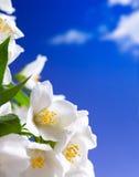 El jazmín del arte florece el fondo Imagen de archivo libre de regalías