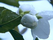 El jazmín florece la visión macra Fondo hermoso del verano FO suaves imagen de archivo