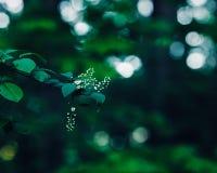 El jazmín o la cereza blanco mágico soñador de hadas hermoso florece en rama de árbol en bosque con las hojas verde oscuro Fotos de archivo